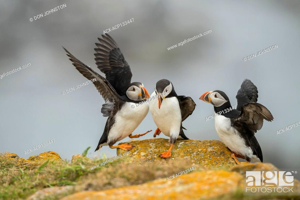 Stock Photo: Atlantic puffin (Fratercula arctica).