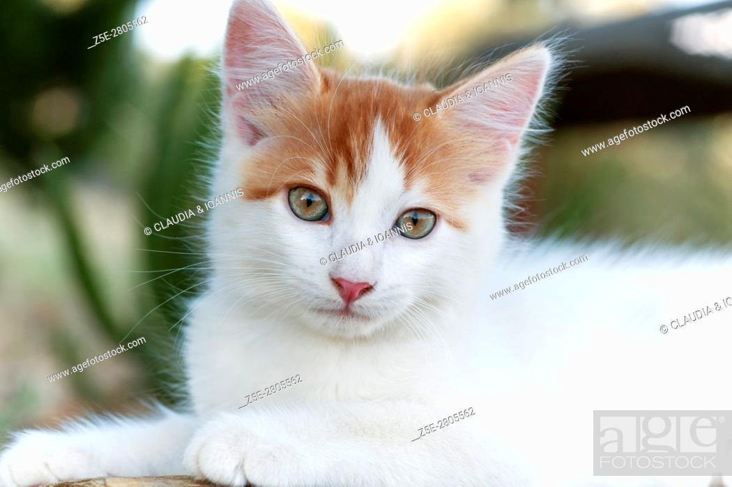 Photo de stock: Portrait of a white and red kitten looking at camera.