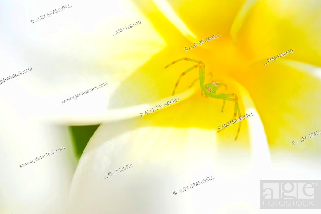 Stock Photo: Green crab spider in the throat of a frangipani or plumeria flower.