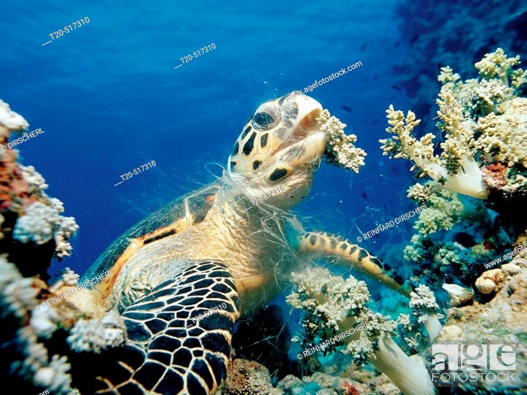 Stock Photo: Hawksbill sea turtle eating soft corals, Eretmochelys imbricata, Egypt, Red Sea, Sinai.