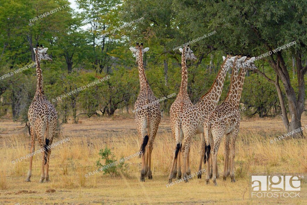Stock Photo: Thornicroft's Giraffe (Giraffa camelopardalis thornicrofti) six adults, standing in woodland savannah, South Luangwa N.P., Zambia, June.