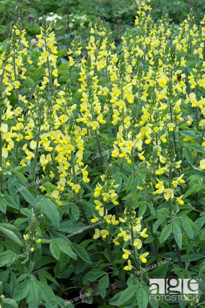 Thermopsis Chinensis Stock Photo Picture And Rights Managed