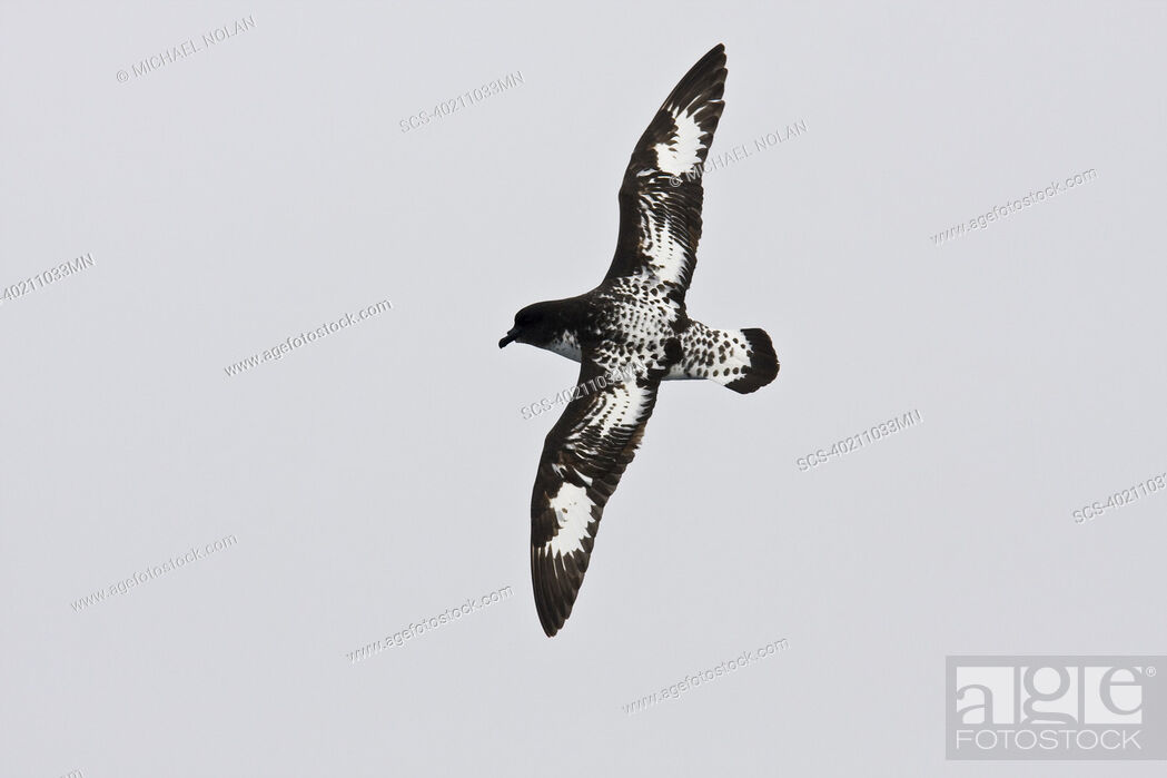 Stock Photo: Adult cape petrel Daption capense on the wing in and around the Antarctic peninsula This petrel is sometimes also called the pintado petrel.