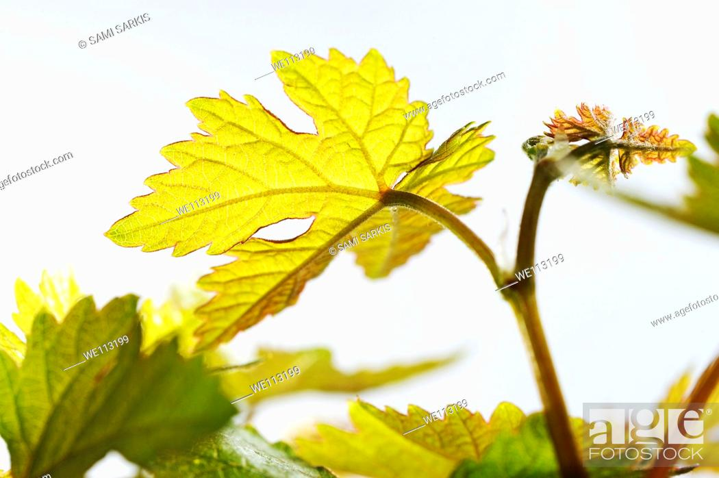 Stock Photo: Young vine leaves at spring, close-up on white background.