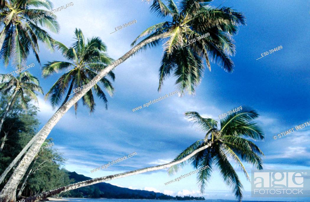 Stock Photo: Overhanging palm tree near Panaluu State Park. Oahu. Hawaii. USA.