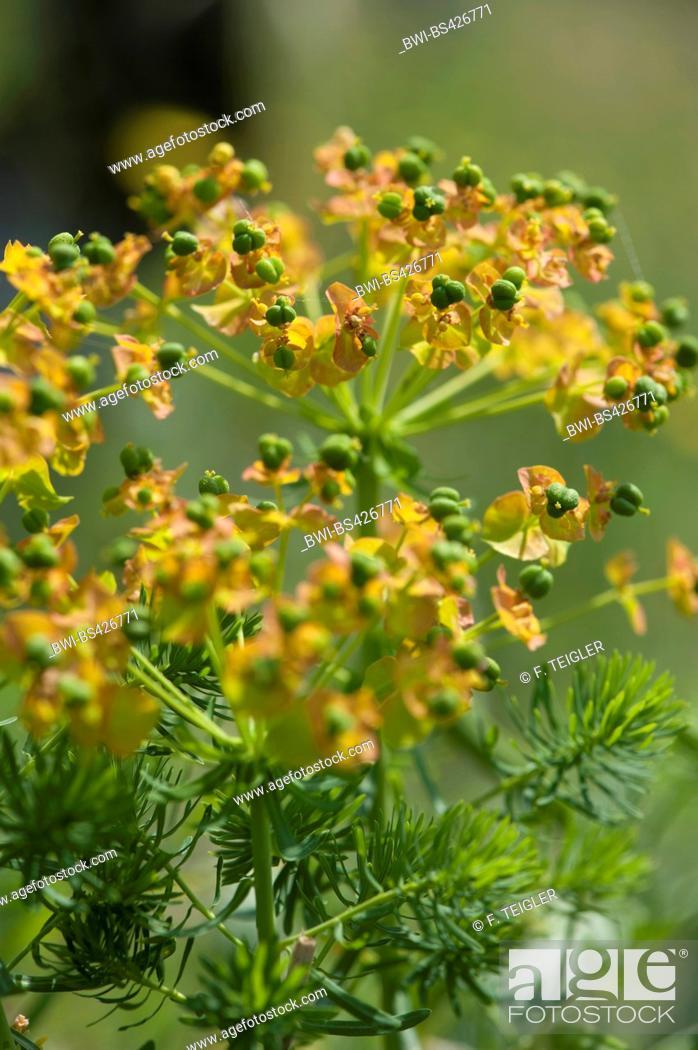 Stock Photo: cypress spurge (Euphorbia cyparissias), fruiting, Germany.