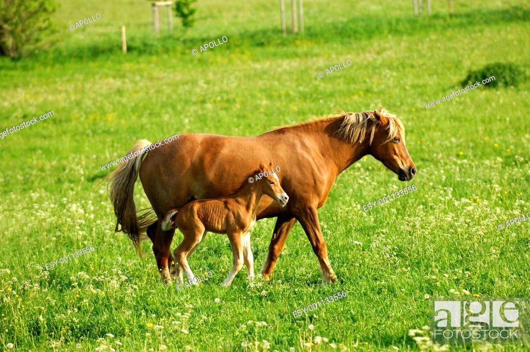 Stock Photo: Hanoverian mare and foal in a paddock.