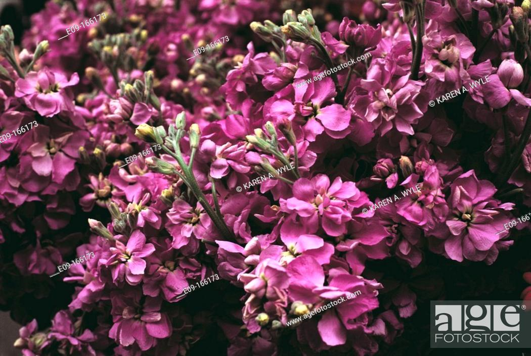 Stock Photo: Magenta flowers growing thickly on bush.