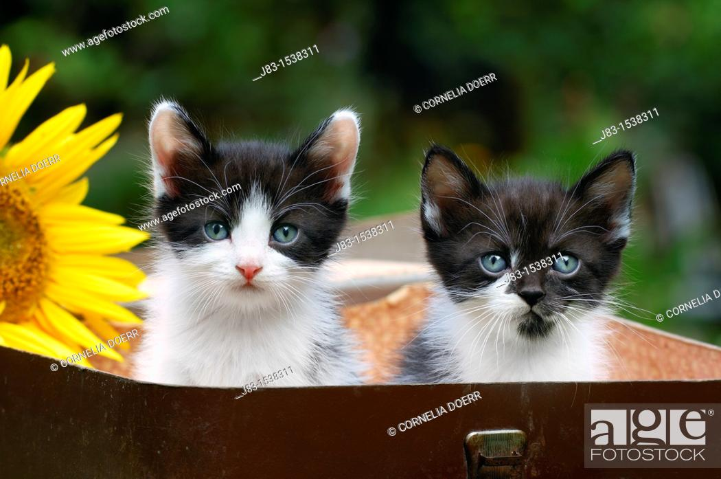 Stock Photo: Two young black and white Kittens sitting in a toy suitcase, Germany.
