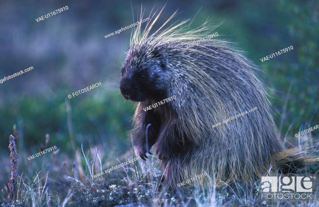 Stock Photo: animals, brown, abenddaemmerung.