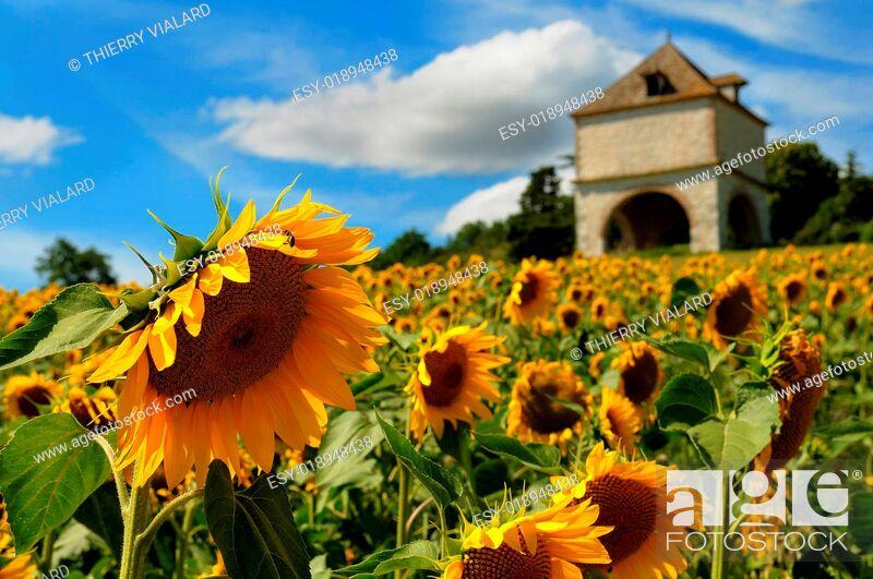 Stock Photo: fields sunflowers.