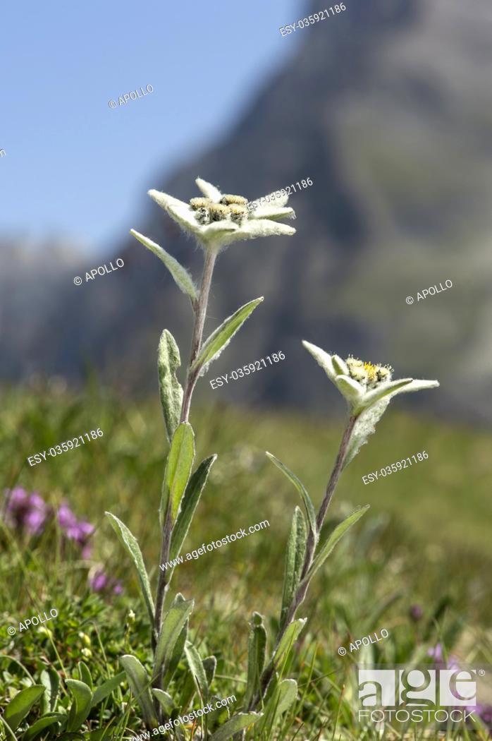 Photo de stock: Edelweiss (Leontopodium alpinum Cass. ), Aster family (Asteraceae), Val de Bagnes, Valais, Switzerland.