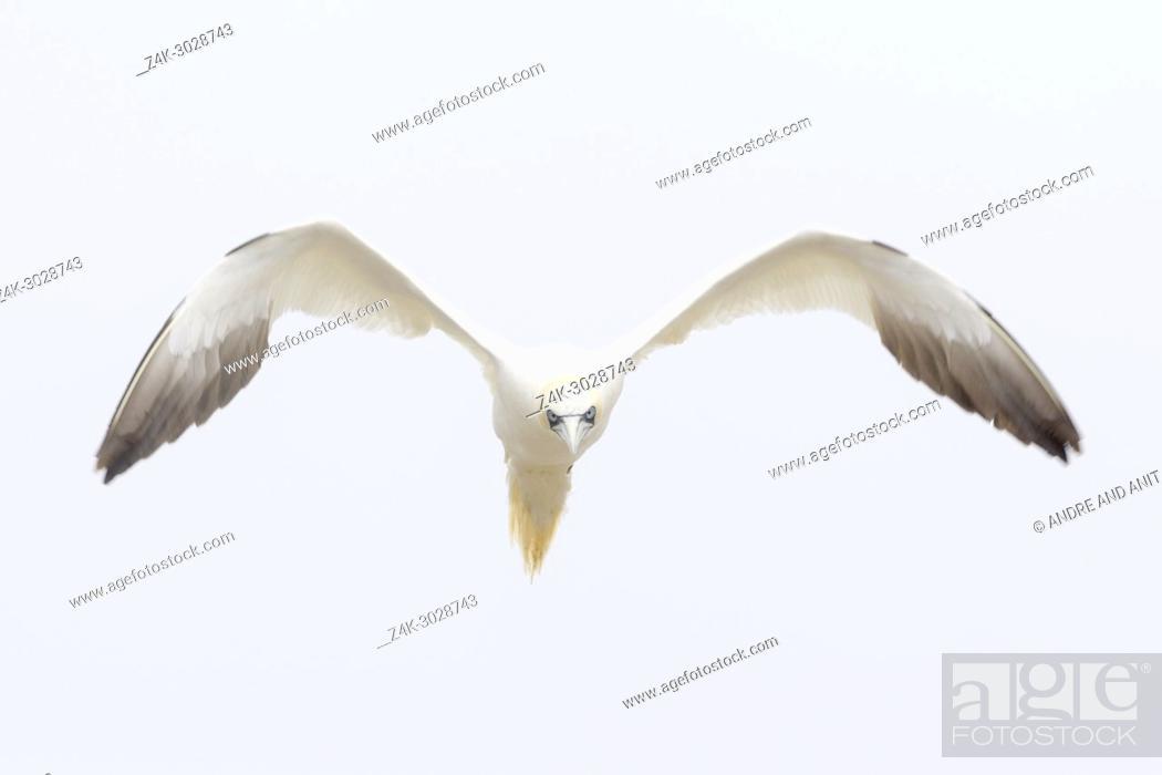 Imagen: Northern Gannet (Morus bassanus) flying against white sky, Great Saltee, Saltee Islands, Ireland.