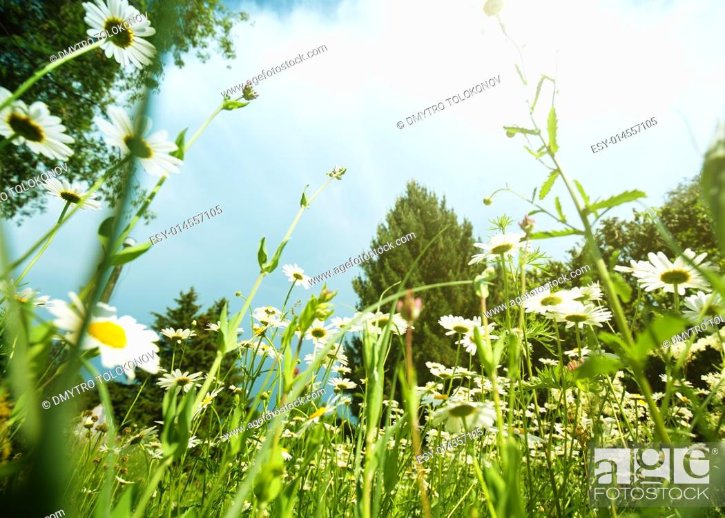 Stock Photo: Daisy meadow, natural landscape.