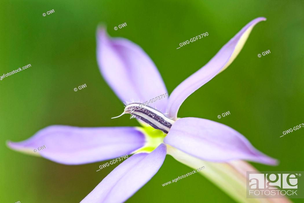 LAURENTIA AXILLARIS \'BLUE STAR\', Stock Photo, Picture And Rights ...