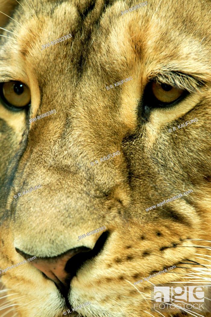 Imagen: lion (Panthera leo), male Portrait.