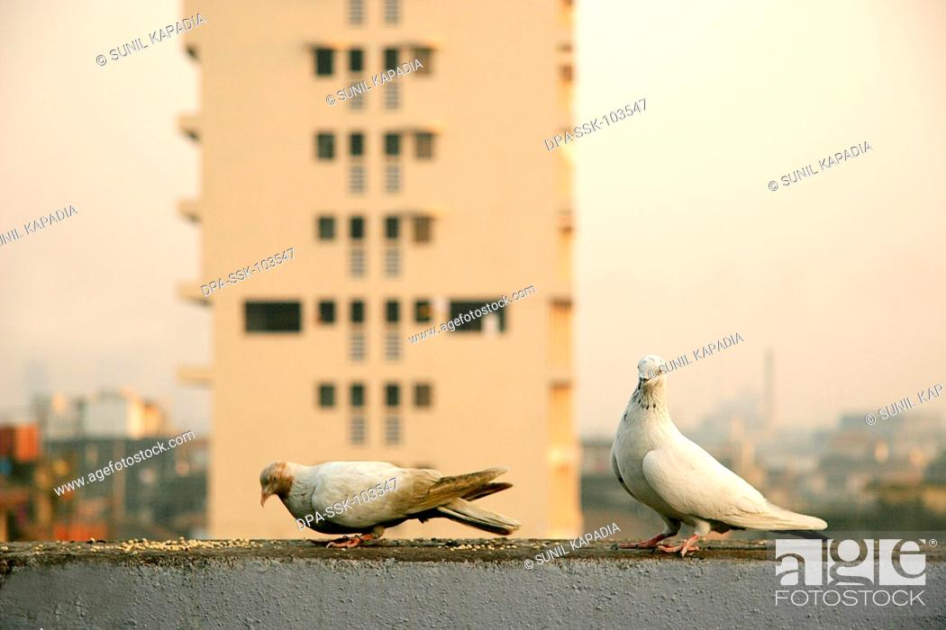 Stock Photo: Birds ; Pigeons feeding on terrace early morning ; Bombay Mumbai ; Maharashtra ; India.