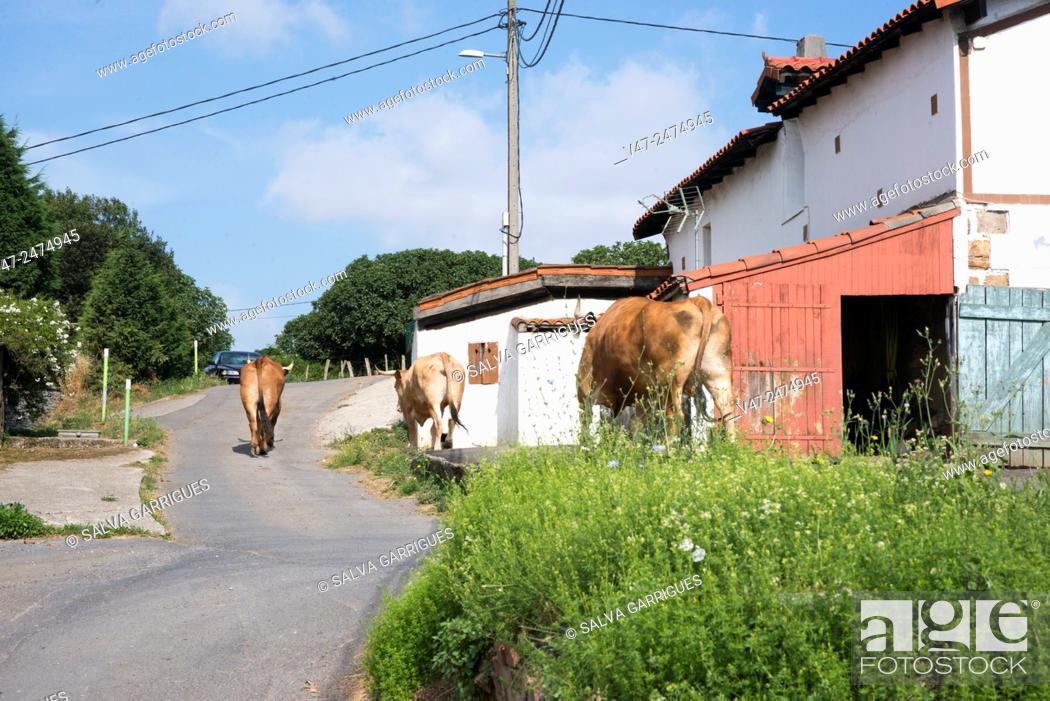Stock Photo: Cows walk down the road on the way to the meadow, Erandio, Bilbao, Vizcaya, Spain, Europe.