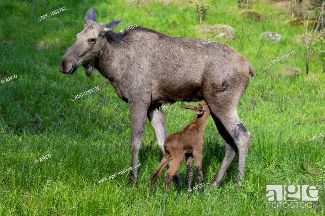 Stock Photo: Moose with young, Bavarian Forest, germany.