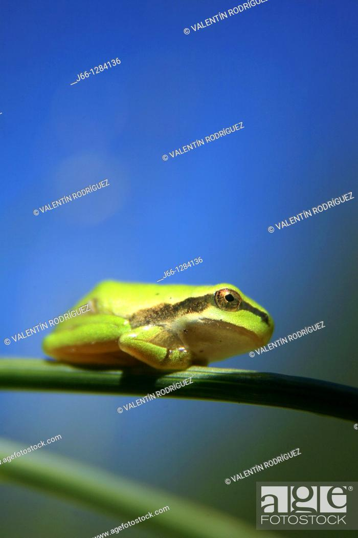 Stock Photo: Tree frog Hyla meridionalis in the Sierra de Albarracín. Teruel.