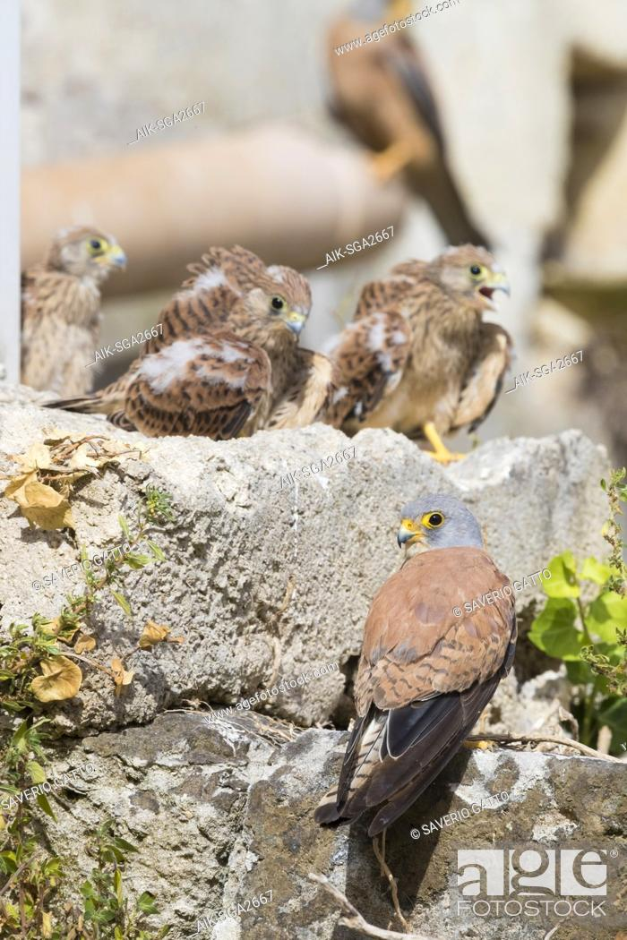 Stock Photo: Lesser Kestrel (Falco naumanni), immature male standing on a rock in Matera with three chicks in the background.