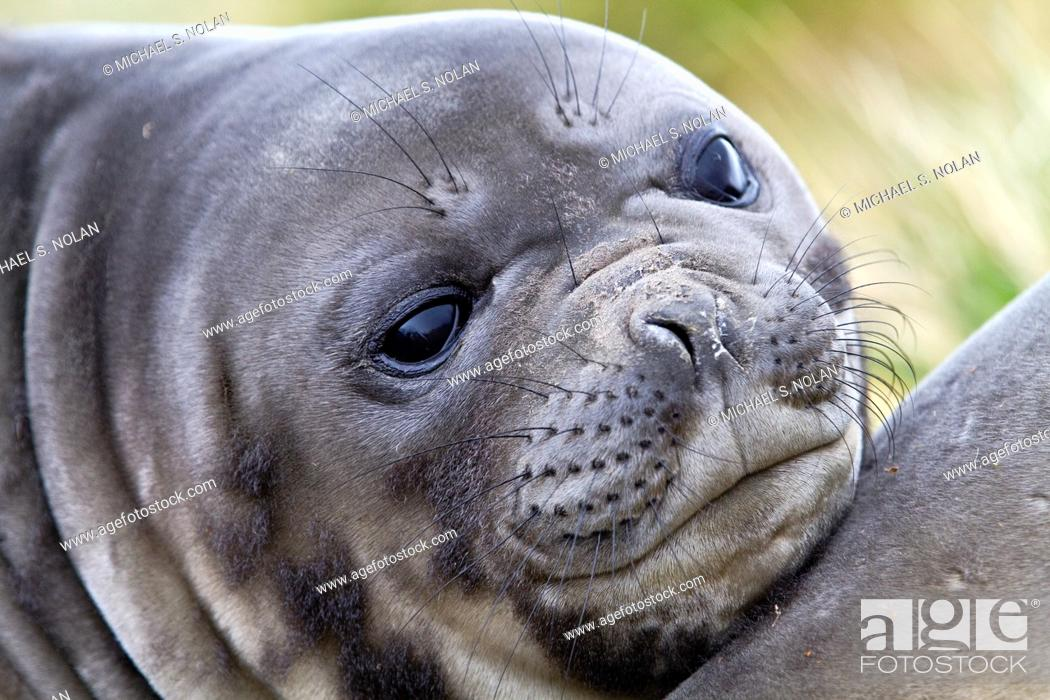 Imagen: Southern elephant seal Mirounga leonina pup often called 'weaners' once their mothers stop nursing them on South Georgia Island in the Southern Ocean  MORE INFO.