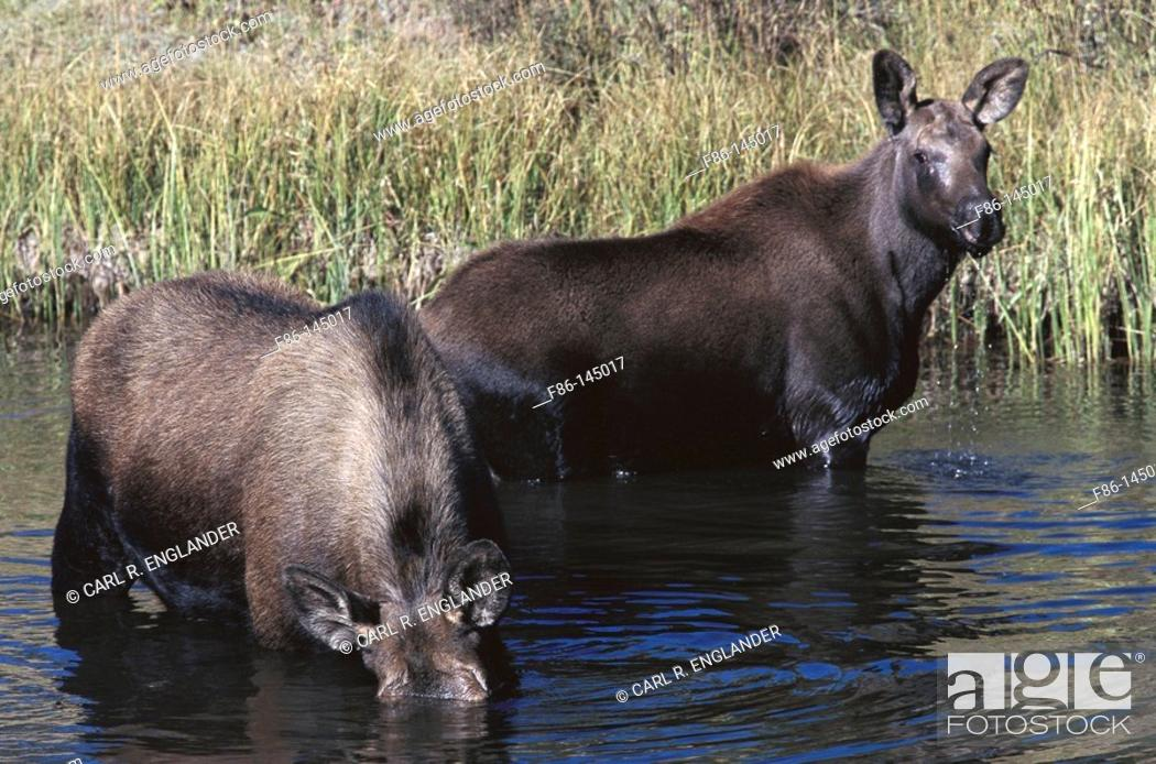 Stock Photo: Mooses (Alces alces). Yellowstone National Park. Wyoming. USA.