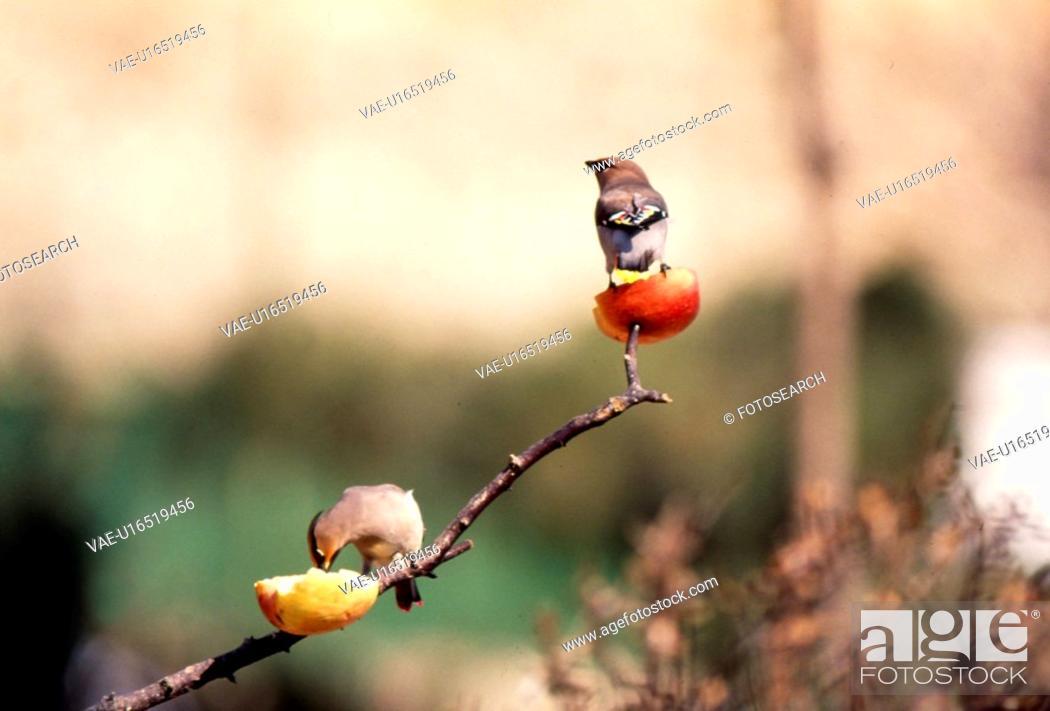 Stock Photo: feeding, nature, fruit, tree, scene, couple, landscape.