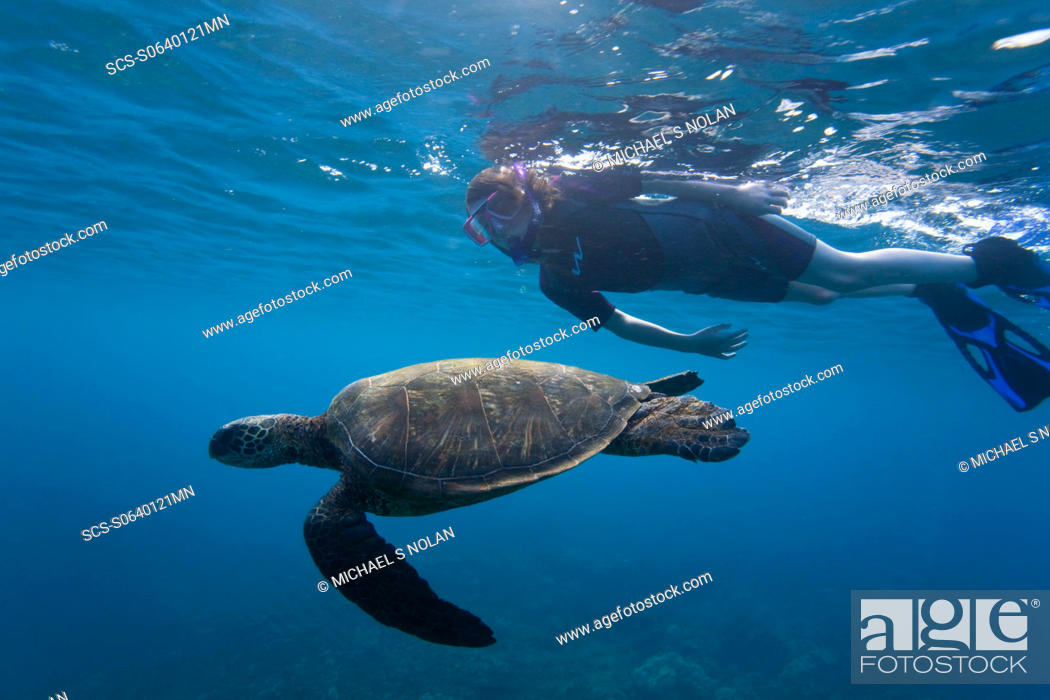 Stock Photo: Snorkeler with adult green sea turtle Chelonia mydas in the protected marine sanctuary at Honolua Bay on the northwest side of the island of Maui, Hawaii.