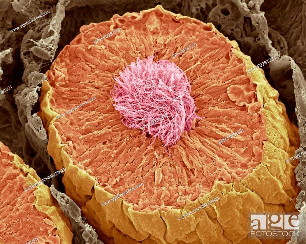 Stock Photo: Seminiferous tubules in the testis, SEM.