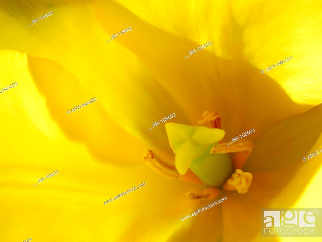 Stock Photo: Tulip, flower detail.