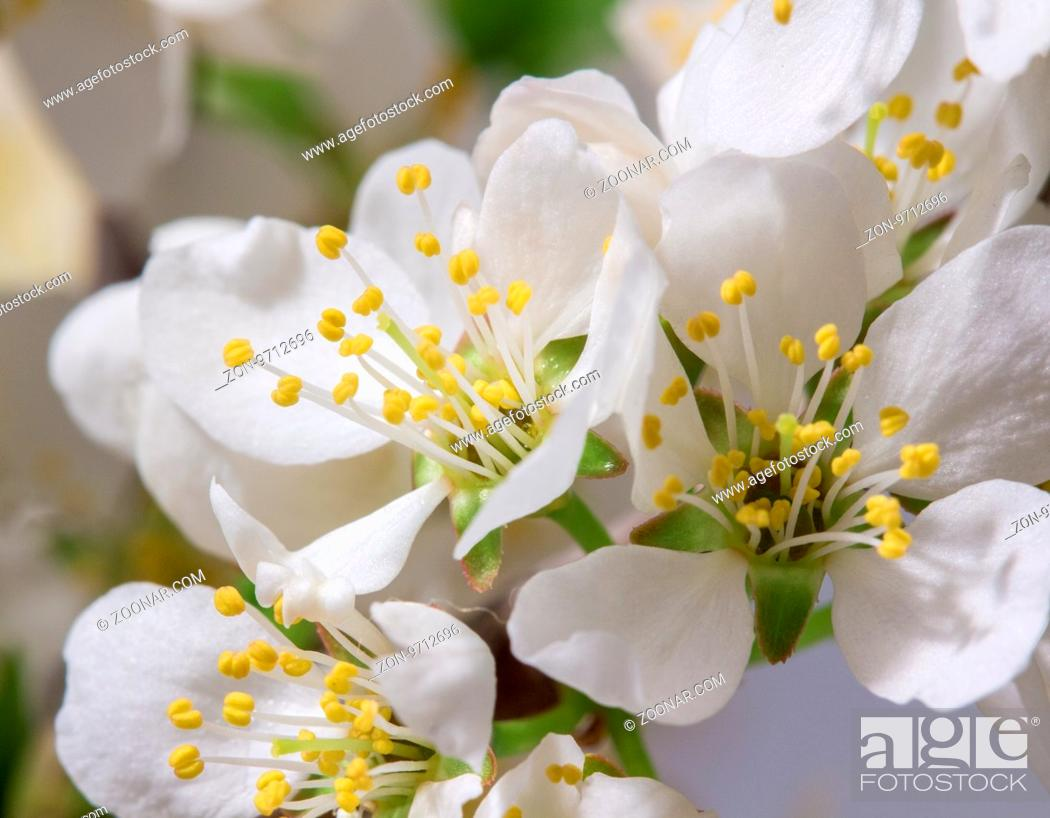 Stock Photo: Spring Cherry Blossom Background, Abstract Floral Border Of Blossoming Tree Brunch With Green Leaves And White Flower On Bokeh Green Background, Mother's Day.