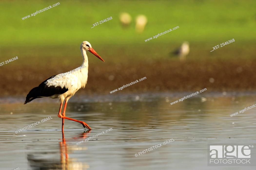 Stock Photo: White Stork (Ciconia ciconia) foraging for food in a water pool. White storks are very large wading birds that feed on fish, frogs and insects.