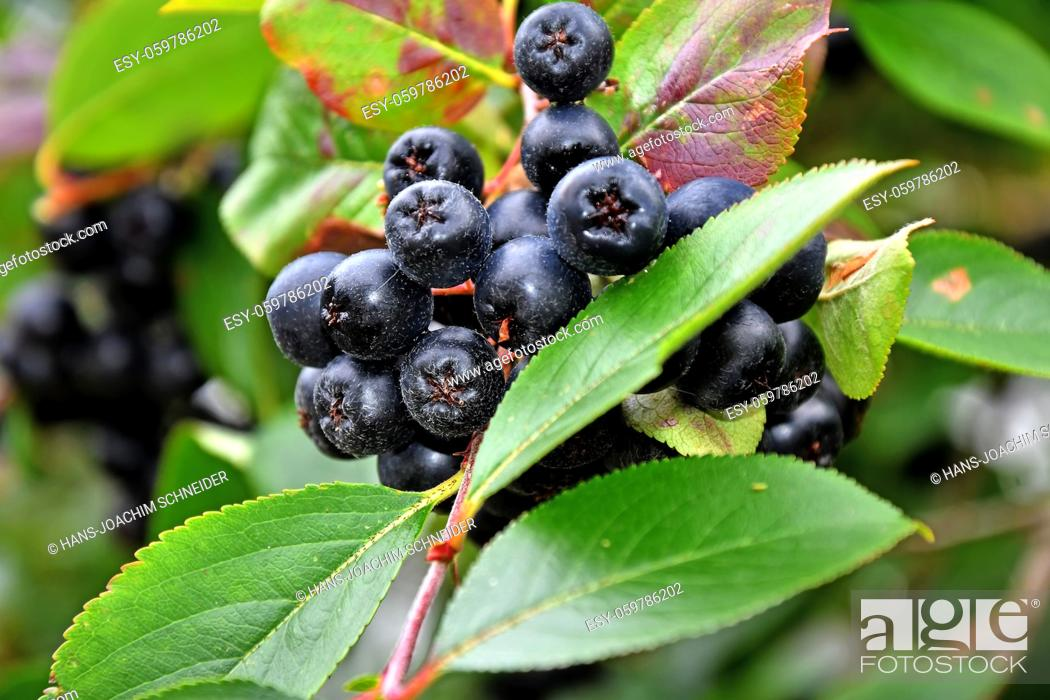 Stock Photo: ripe Aronia berries on a tree in Germany.