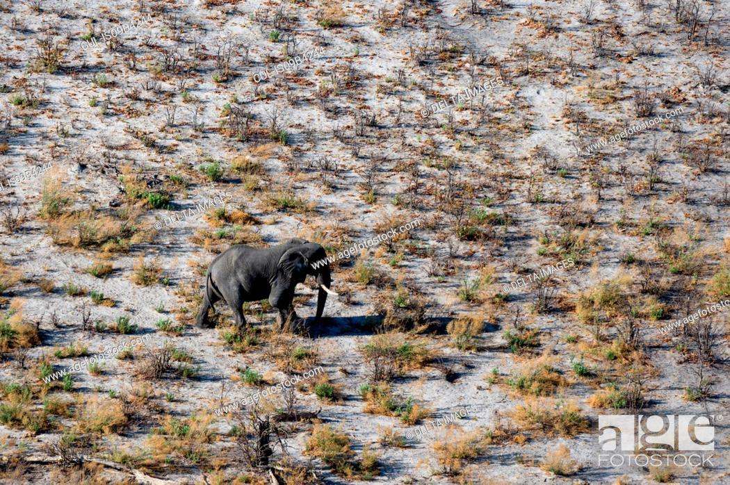 Stock Photo: Aerial view of african elephant (Loxodonta africana) walking in arid landscape, Okavango delta, Botswana.