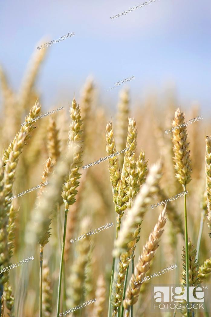 Stock Photo: Close-up of wheat in a field, Sweden.