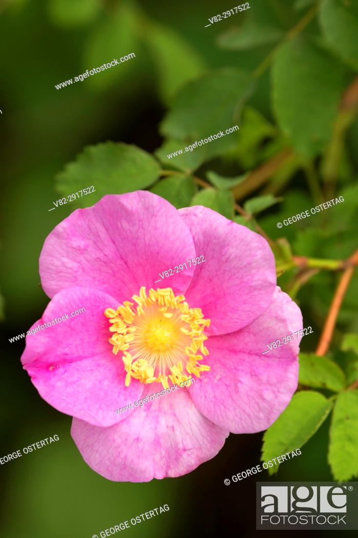 Stock Photo: Wild rose, Willamette Mission State Park, Oregon.