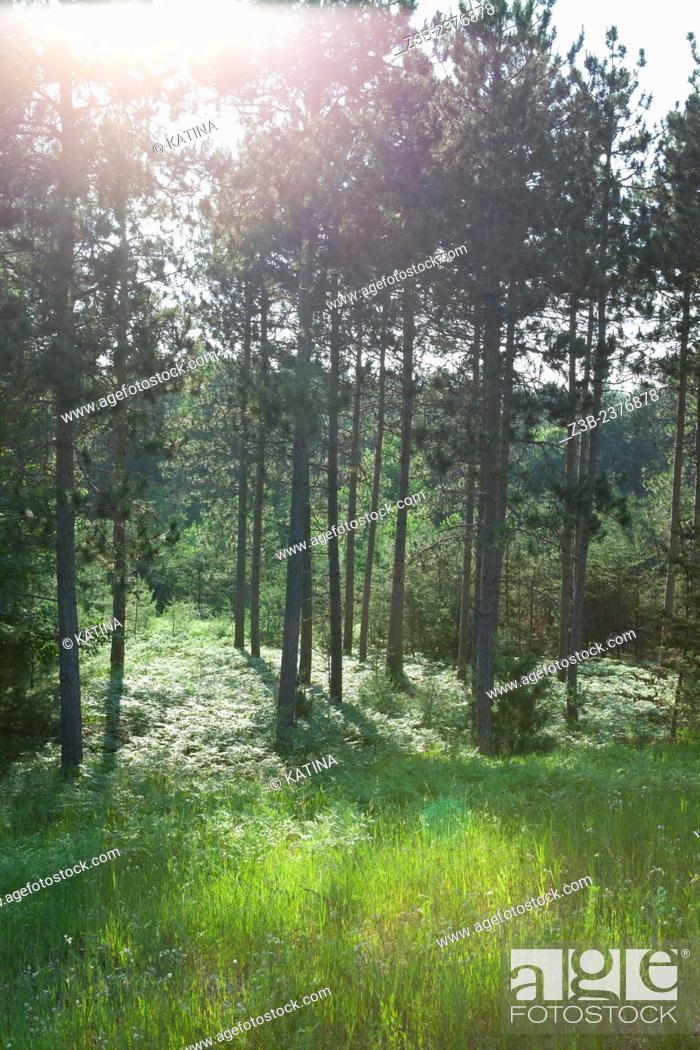 Imagen: Sunlight through forest, summer in Williamsburg, Michigan, near Traverse City, MI, USA.