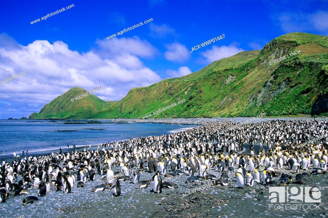 Stock Photo: King penguins Aptenodytes patagonicus and royal penguins Eudyptes schlegeli loafing on the beach in Lucitania Bay, Macquarie Island, Sub-antarctic Australia.