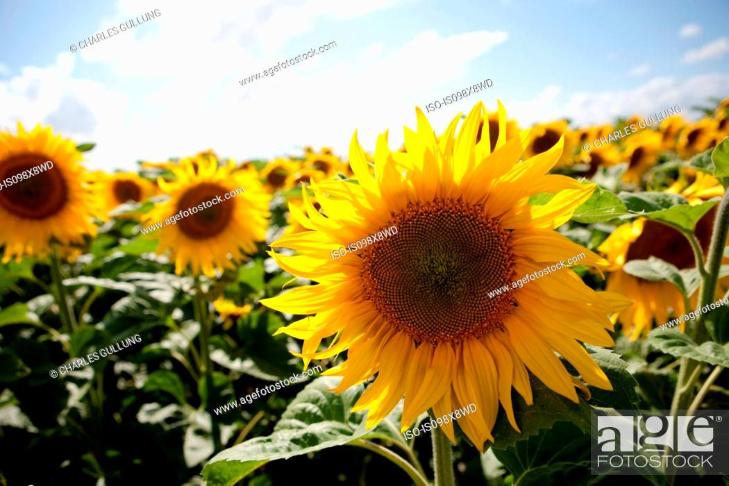 Photo de stock: Field of sunflowers.