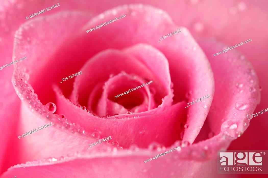 Stock Photo: Rose, Rosaceae, Hamburg, Germany.