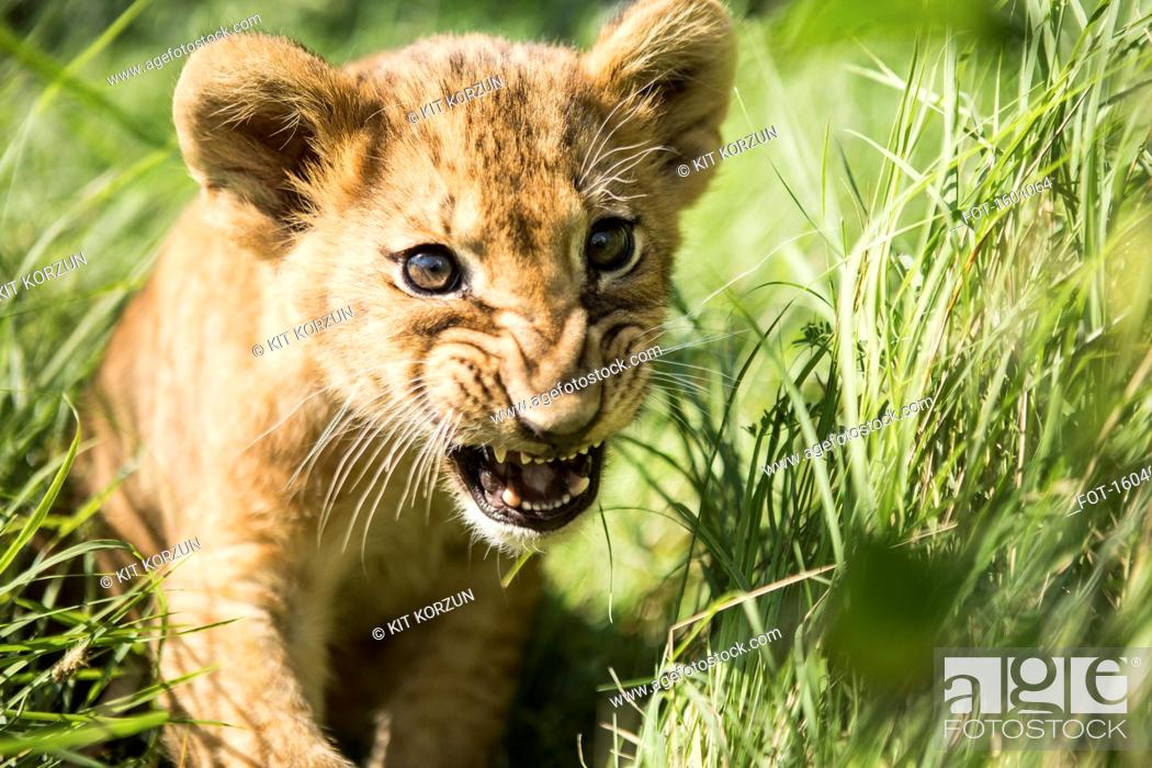 Stock Photo: Close-up of lion cub roaring in grass.