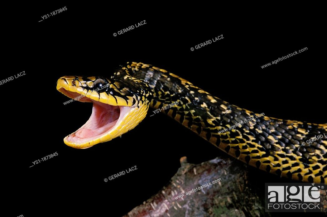 Stock Photo: Tropical Rat Snake, spilotes pullatus, Adult with Open Mouth, in Defensive Posture.