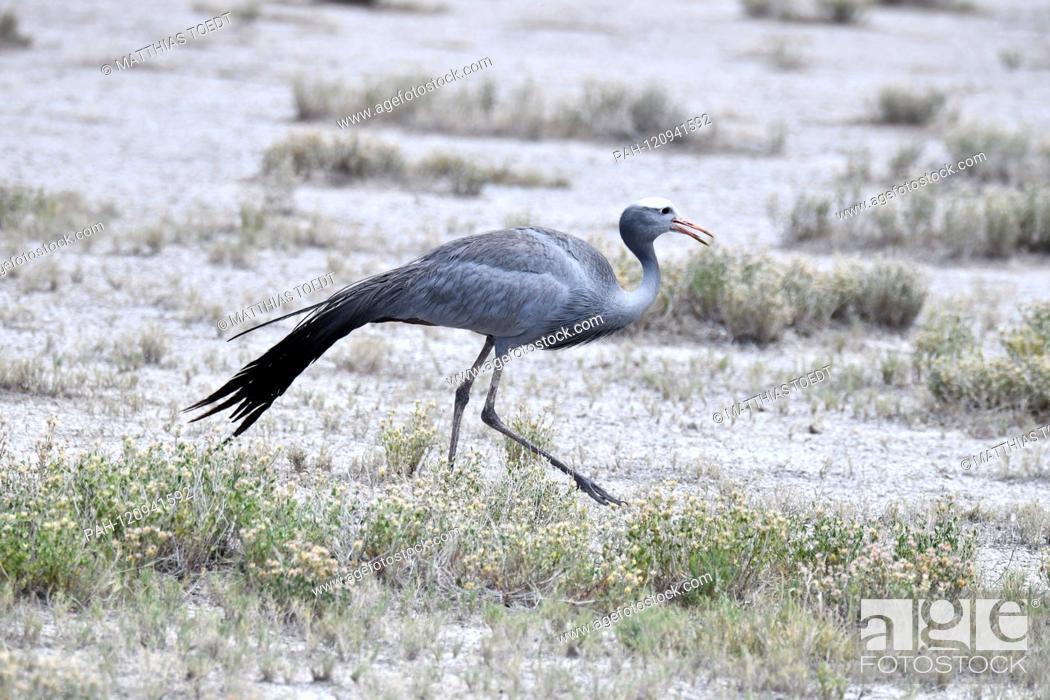 Stock Photo: Paradise crane (Anthropoides paradisea) in the Etosha National Park, taken on 05.03.2019. Photo: Matthias Toedt / dpa-Zentralbild / ZB / Picture Alliance |.