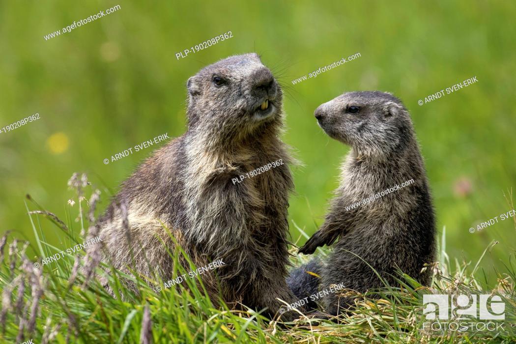 Stock Photo: Alpine marmot (Marmota marmota) young greeting parent, Hohe Tauern National Park, Carinthia, Austria.