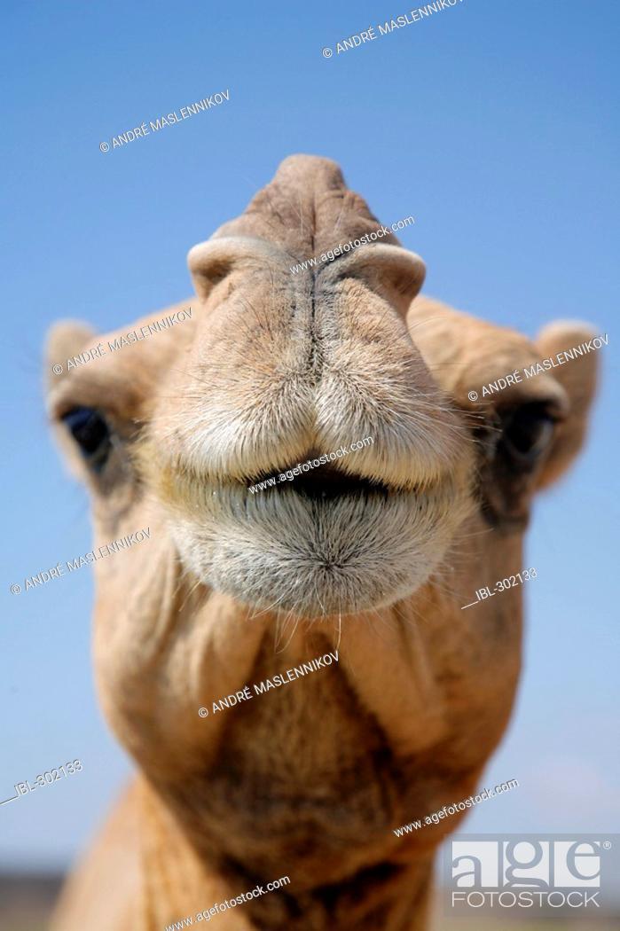 Stock Photo: Camel portrait.