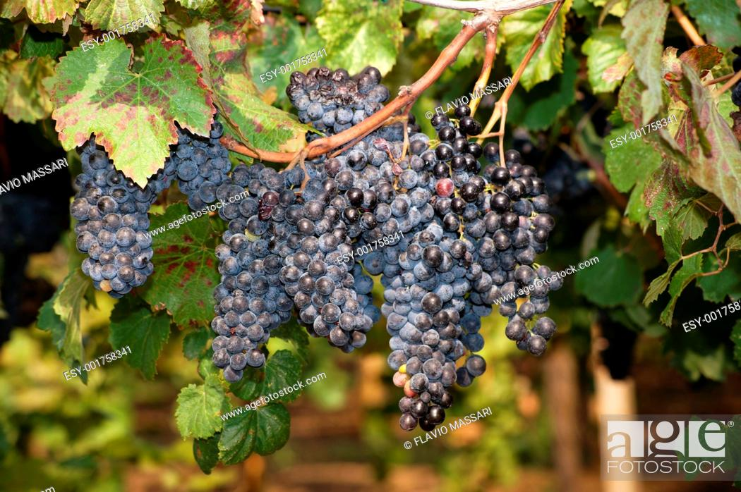 Stock Photo: Lambrusco ripened grapes hanging in a vineyard in Salento region, South East Italy.
