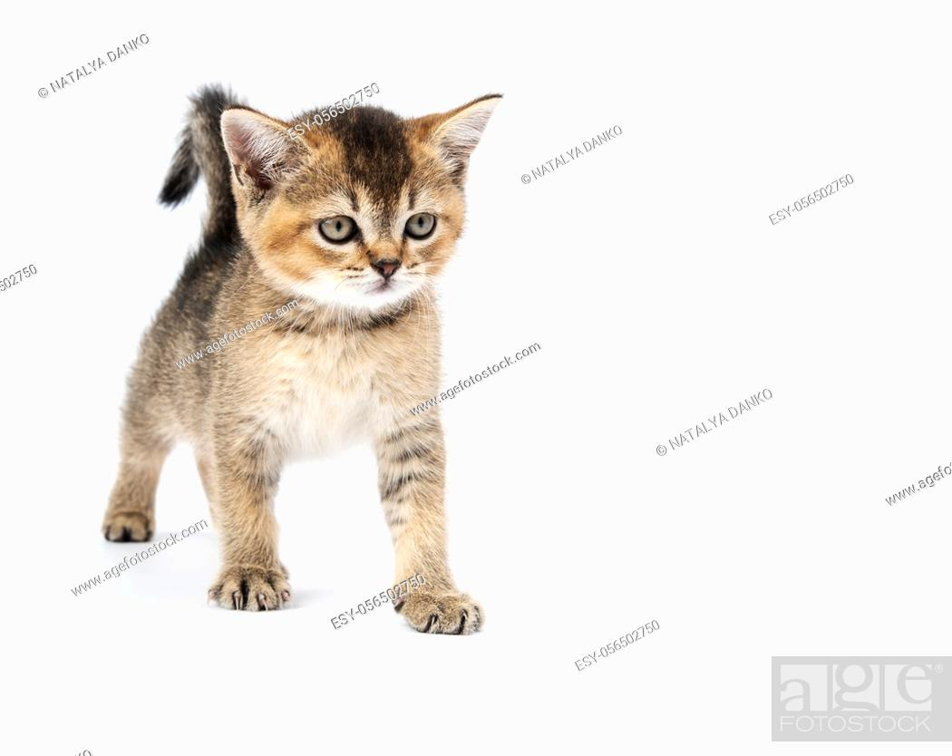 Stock Photo: Kitten golden ticked british chinchilla straight. Cat stands on a white background, copy space.