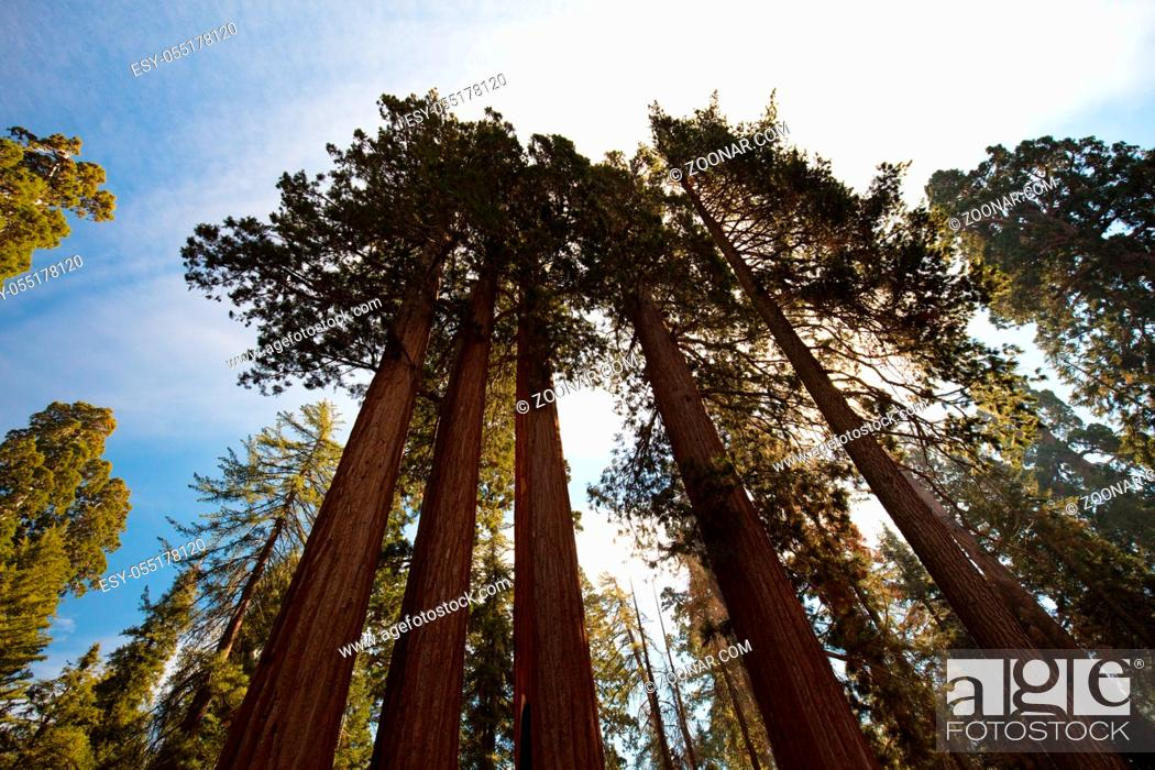 Stock Photo: A group of trees near the General Grant tree in Sequoia National Park, California, USA.