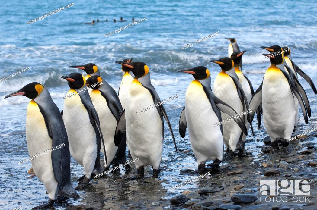 Imagen: Group of King penguins Aptenodytes patagonicus walking on the shore, St  Andrews Bay, South Georgia Island.